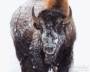 Snow Covered Bison, Yellowstone National Park, Wyoming, snowman, winter, bison