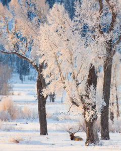 Bull Elk in Frost, Lamar Valley, Yellowstone National Park, frosty morning,