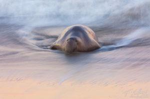 Elephant Seal and Ocean Waves, Piedras Blancas, California, slumbering beast