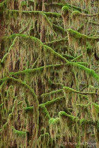 Hoh Rainforest Moss, Olympic National Park, Washington, Green