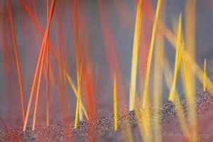 Coastal Succulent Plants, Olympic National Park, Washington, Succulent Flames