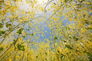 Spring Mustard Flowers, Mount Diablo State Park, California, sneezing, pollen