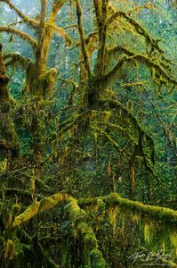 Mossy Maple Trees, Hoh Rainforest in Olympic National Park, Washington, spring, green, moss