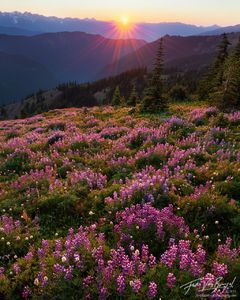 Alpine Flowers, Hurricane Ridge, Olympic National Park, sunset