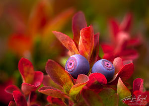 Cascade Bilberry (Blueberry), Mt. Rainier, Washington
