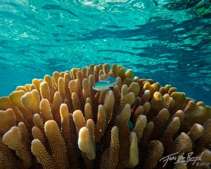 Tropical Chromis, Ofu, American Samoa, lagoon, coral