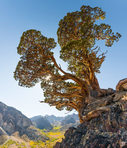 Juniper Tree, Sierra, Valley