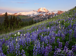 Mount Baker and Lupine, Cascades, Washington