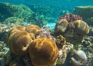 Tropical Corals, Ofu, American Samoa