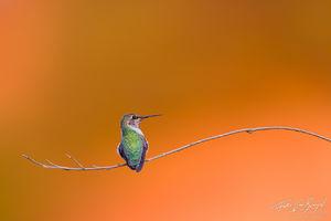 Anna's Hummingbird (Calypte anna), Eaton Canyon, California, san gabriel