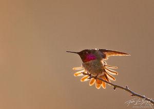 Anna's Hummingbird, Mt Diablo State Park, California