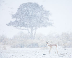 Pronghorn, Snowstorm, Yellowstone National Park