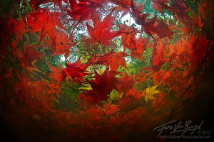 Unique Underwater Autumn Maple Leaves, Seattle Arboretum, Washington