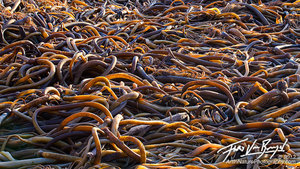 Beach Kelp, Mendocino, California