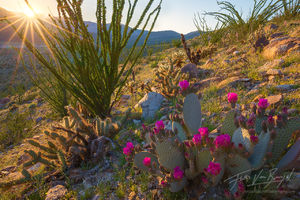 Beavertail Cactus, Anza-Borrego, Desert