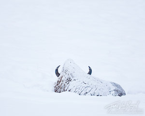 Bison in Snow, Lamar Valley, Yellowstone National Park