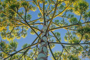 Century Plant, Flowering, Agave americana