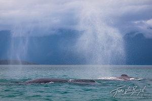 Breathing Humpback Whales, Glacier Bay, Alaska