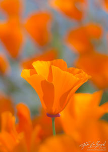 California Poppy, Mt Diablo State Park, California