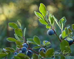 Cascade Bilberries, North Cascades, Washington
