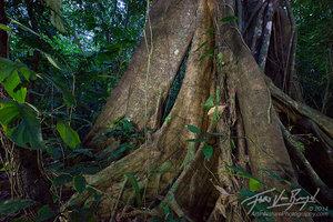 Ceiba, Lacandon Jungle, Chiapas