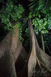 Ceiba Tree, Lacandon Jungle, Chiapas