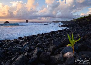 Sprouting Beach Coconut, Tutuila, American Samoa