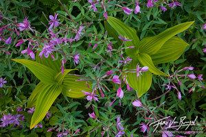 Corn Lilies, North Cascades, Flowers