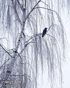 Winter Mourning, Crow, Seattle Washington