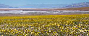 Desert Gold, Super Bloom, Death Valley