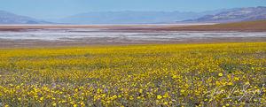 Desert Gold, Super Bloom, Death Valley