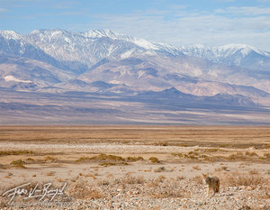 Coyote, Death Valley National Park, Telescope Peak