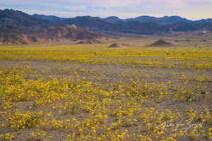 Evening-Primrose, Super Bloom, Death Valley National Park
