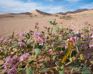 Caterpillar, Flowers, Death Valley National Park