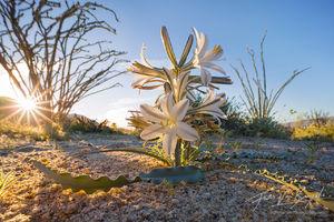 Desert Lily, Anza-Borrego, Spring