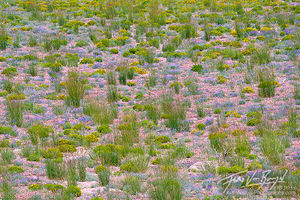 Flowers, Mono Basin, California