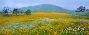 Fiddleneck, Flowers, California
