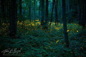 Fireflies in Forest, Smoky Mountains, Tennessee