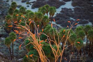 Ocotillo Flowers, Anza-Borrego State Park, California Desert