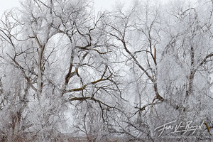 Icy Crystals, Cottonwood Trees, Eastern Washington