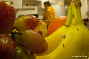 Drosophila melanogaster, Fruit Bowl, Kitchen