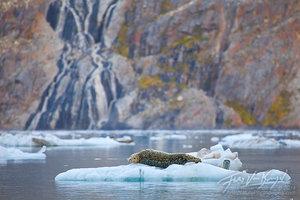 Harbor Seal, Johns Hopkins Inlet, Glacier Bay National Park