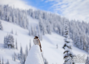 Gray Jay in Snowy Landscape, Mt Rainier, Washington