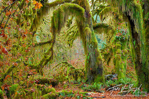 Hall of Mosses in Hoh Rainforest, Olympic National Park, Washington