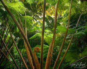Forest of Ferns, Volcanoes National Park, Hawaii, Hapu'u
