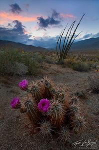 Desert Dance Spring Cactus Flowers, Anza-Borrego State Park, California, hedgehog cactus, echinocereus, ocotillo, Fougui