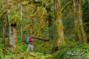 Hiker in Temperate Rainforest, Olympic National Park, Washington