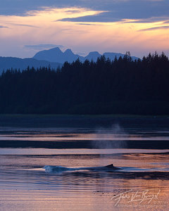 Humpback Whale Breathing at Sunset, Beardslee Islands, Alaska