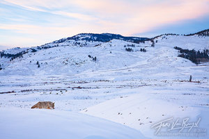 Hunting Coyote, Lamar Valley, Yellowstone National Park