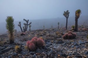 Joshua Trees, Fog, Death Valley National Park